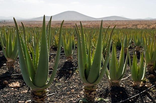 Плантация урожая полезных растений