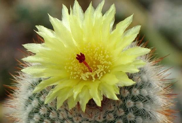 Большой колючий желтый цветок
