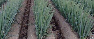 Канавы для внесения удобрений и полива