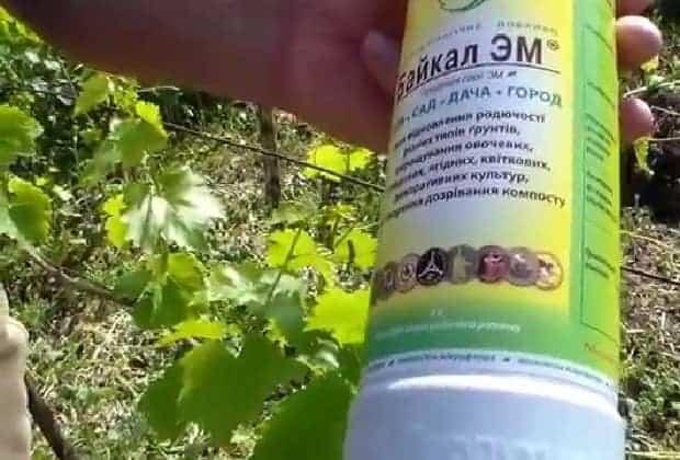 Жидкость для улучшения урожая винограда