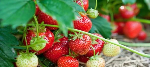 Мульчирование ягод измельченной соломой