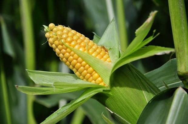 Удобрения для кукурузы при посеве в 2020 году