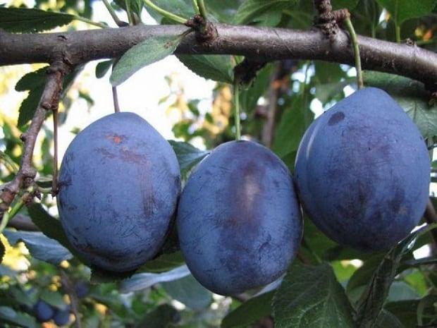 Весит три фрукта на ветке