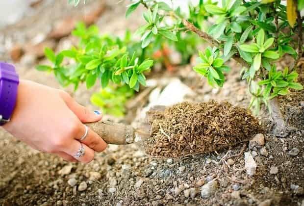 Зеленый небольшой плодовый кустарник в саду
