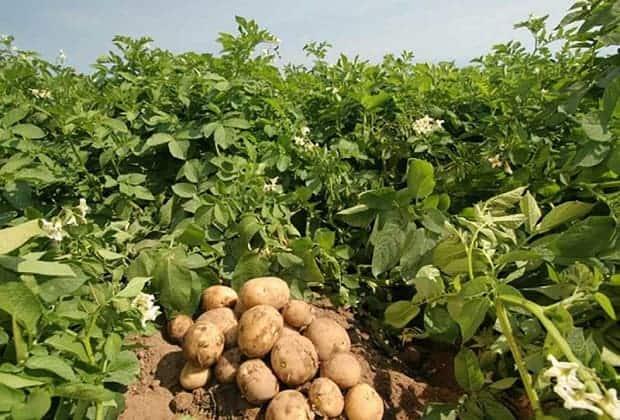 Зеленая масса на полях увеличивает урожайность