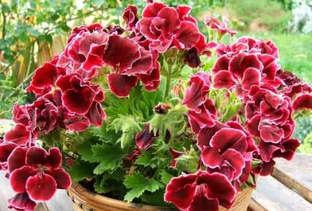 Чем подкормить герань для обильного цветения в домашних условиях: чем поливать дома, чтобы цвела