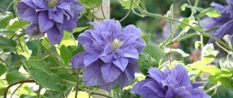Голубой большой пышный цветок на металлической сетке