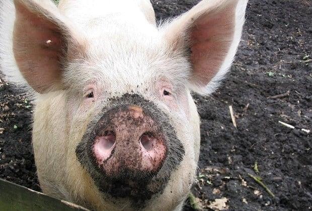 Можно ли свиной навоз на огород