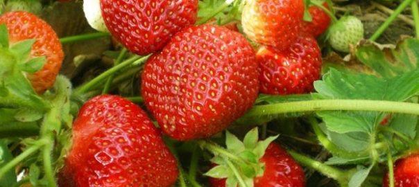 Бизнес по выращиванию ягод круглый год в России