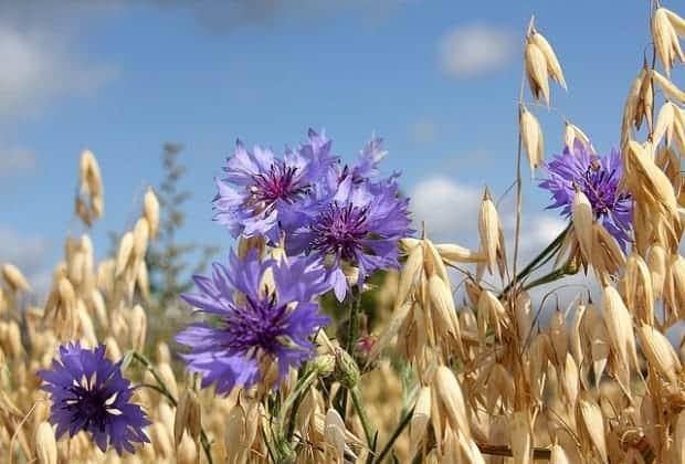 Расцвели голубые волошки среди поля