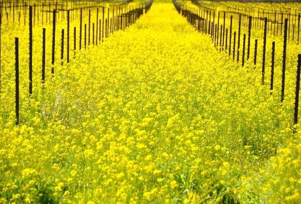 Подготовка участка под выращивание винограда на вино