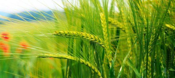 На поле с пшеничными культурами растут красные маки