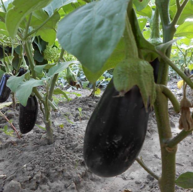 Плоды баклажанов в результате подкормки