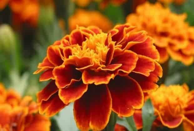 Доказано, что бархатцы - хорошая подкормка для растений. Полезные свойства этих цветов хорошо себя проявляют при удобрении любых почв.