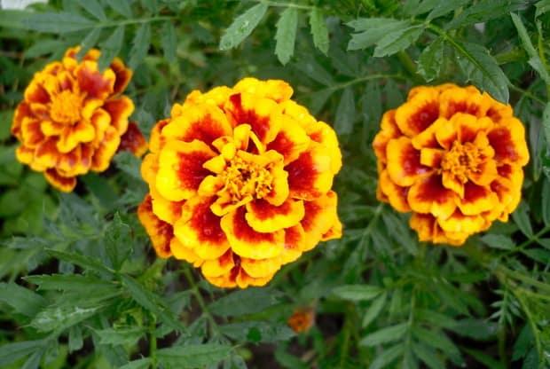 Удобрить грунт при помощи таких растений можно несколькими способами.