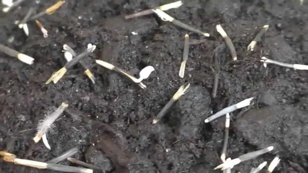 Посадка бархатцев семенами