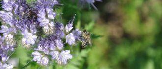 Пчела на фацелии