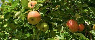 Чем подкормить яблоню