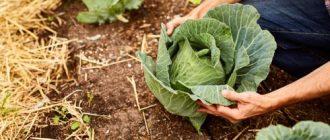 Чем можно подкормить капусту