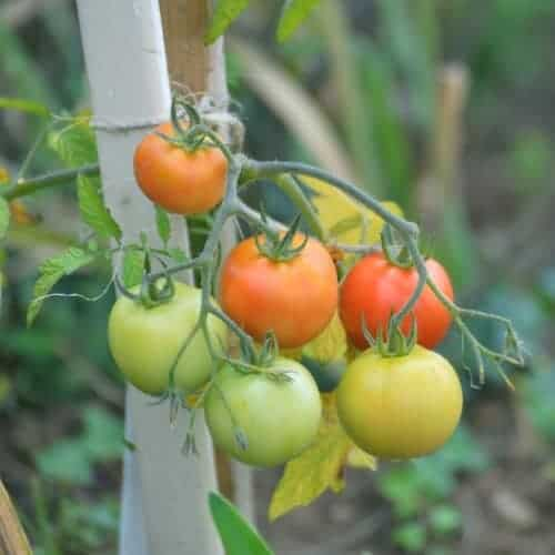 помидоры во время плодоношения