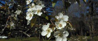 Удобрение груши весной