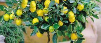 Удобрение для лимонного дерева
