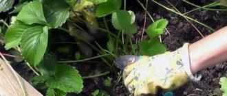 Удобрение клубники после плодоношения
