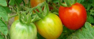 краснеющие помидоры