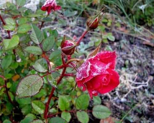 Подготовка розы к зиме