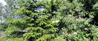 Удобрение хвойных растений