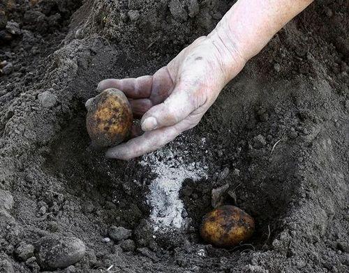 Удобрение картофеля при посадке в лунку